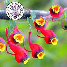 RARE RARE Tropaeolum tricolor capucine fleur - 5 graines-Vendeur Britannique