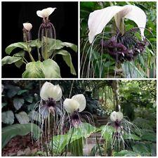 10 semi di Tacca integrifolia, pianta pipistrello o fiore del diavolo