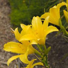 Daylily Day Lily Yellow Lemon Hyperion Plant Hemerocallis Drought Resistant Bio