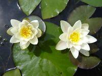 Pyg Alba  Dwarf small pond  water lily - pond plants water lilies