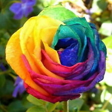 Affordable Garden Plants Rainbow Rose Flower Seeds 50Pcs Your Lover Home UK