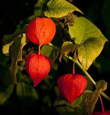 600 Semillas de Physalis Alkekengi / Alquequenje / Amor tomatillo / Flor Perenne