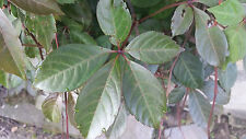 Silver vein creeper Parthenocissus henryana one rooted young plant