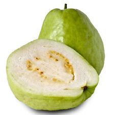 15 Fresh Sweet Tropical Thai Guava Apple Seeds, PSIDIUM GUAJAVA, White