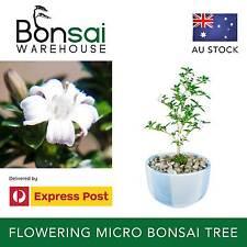 Micro Bonsai Tree - Flowering Small-leafed Japanese Kyoto Serissa Plant Mame