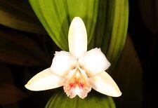 10 SOBRALIA KLOTZSCHEANA orchidea orchid seeds samen fiori no stapelia copiapoa