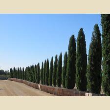 15 Semillas Cipres del Cementerio  CUPRESSSUS SEMPERVIRENS - Jardín Garden Samen