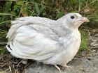 24++ Assorted Color Coturnix Quail Hatching Eggs. Blue Eggs Included. NPIP Clean