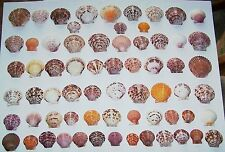 56 & GET 10 FREE COLORFUL ATLANTIC CALICO SCALLOPS FROM THE GULF OF MEXICO - NEW