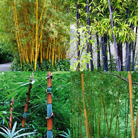 Lots 100Pcs Phyllostachys Pubescens Moso-Bamboo Seeds Garden Plants Black Tinwa