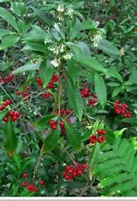 Organic Ornamental Plant - About 1-1.5 Ft Tall Coral  Berry   Ardisia crenata