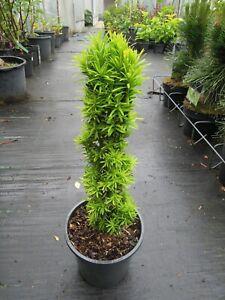 """Taxus baccata """"David"""", gelbe Säuleneibe, 50-60cm Solitär"""