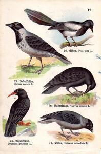 1910 SCHREIBER ATLAS CHROMO Birds:chough, jackdaw, magpie, carrion & hooded crow
