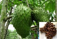 Soursop Annona muricata Seeds Giant Graviola Tropical Fruit Plant 5/10/15 Seeds