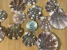 50 Pecten Pyxidatus Scallop Flat Craft Shells Assortment Half Seashells