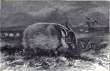 Red Bush Pig 1894 Mammal - East and Southern Africa Victorian Engraving