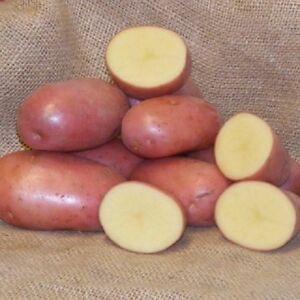 NEW SEASON - FOXTON Seed Potatoes - Certified Seed - Maincrop