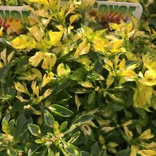 GREEN & GOLD Alternanthera colourful border plant in 135mm pot