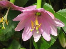 7 Graines - PASSIFLORA MOLLISSIMA -  Fleur de la Passion - Jardin Garden Samen