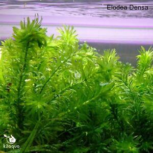 Elodea Densa 5-500 Oxygenating Pond / Tropical Water Aquarium Live Plants Egeria