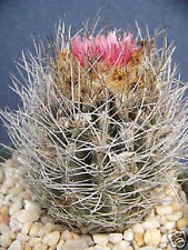 Neoporteria taltanensis rare eriocise nidus pink flor cactus cacti seed 10 Seeds