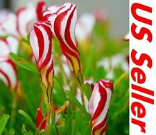 25Pcs Oxalis Versicolor Flower Candy Cane Seeds F75, Semillas Garden Flower