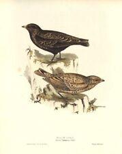 BLACK LARK. Alauda Tartarica/Melanocorypha yeltoniensis. Large. GOULD c1832