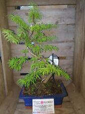 Golden larch bonsai-pseudorarix in 20 cm glazed ceramic pot