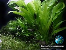 Echinodorus amazonicus x 3 stalks - Live Aquarium Plant  Moss Flame N001 T002