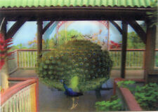 Indian Peacock with Open Tail - 3D Lenticular Postcard Greeting Card