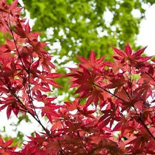Acer Palmatum Bloodgood 3L Pot Garden Outdoor Ornamental Tree Dark Purple Leaves