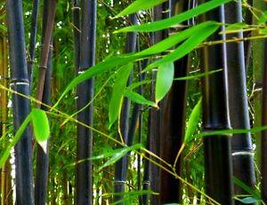 Phyllostachys nigra (Black Bamboo) 20 Plant Seeds | RARE Outdoor Garden | UK
