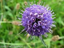 Devils bit Scabious meadow cottage garden wildflower fresh 650  seeds