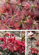 Löwensonnentau exotische duftende Pflanzen für die Wohnung Zimmerpflanze / Samen