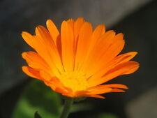 18 seeds - Calendule -  Calendula Officinalis - MEDICINAL PLANT -