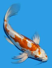 "New listing Live Koi fish 13-14"" Doitsu Hariwake Butterfly female Koibay"