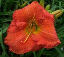 Daylily Plant Buena Fortuna Rebloom Perennial Df Hensley-D. Orange Rose Flower