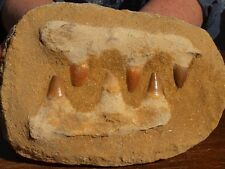 """Mosasaur Dinosaur Jaw Section with Teeth Nice Fossil 6.0"""""""