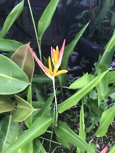 Clearance Stock Strelitzia 90cm Red Bird of Paradise
