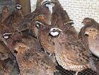 40+ Butler Bob White Quail Hatching Eggs