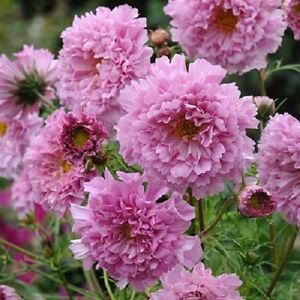 40+ COSMOS DOUBLE CLICK PINK FLOWER SEEDS  / LONG LASTING ANNUAL