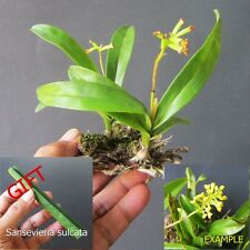 2 Plants Orchids Species From Java + Free Gift