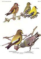 """1936 Vintage FUERTES BIRDS #79 """"EURO GOLDFINCH, GROSBEAK"""" Color Plate Lithograph"""