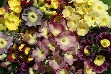 30+ Viennese Waltz Mix Primrose Primula Flower Seeds Mix Perennial / Sweet Scent