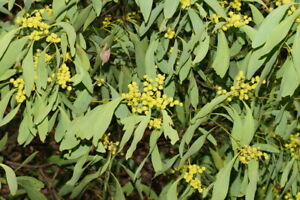 Acacia obliquinervia Mountain Hickory Wattle 60 Seeds