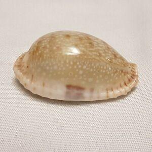 Cypraea Erosa Cowrie Seashell 37 MM - Cowry Shell CW95 Hawaii