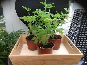 Lemon Scented indoor/outdoor geranium flowering plant