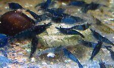 Blue Velvet Shrimp Live Freshwater Aquarium Fish