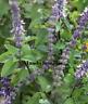 Albahaca aroma Vainilla ( nueva rara  variedad )  Ocimum   100 semillas frescas