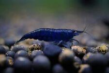 New listing Blue Dream (Neocaridina Davidi) Live Freshwater Aquarium Shrimp (10 Shrimp)